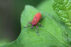 瀬上市民の森のカツオゾウムシ(Beetle, Segami Community Woods)