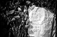 Rose ceremony Oslo (Maríon) Tags: flowers roses rose oslo norway massacre ceremony terror tilungdommen supermarion marionnesje nordahlgrieg oslove