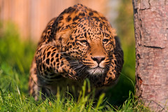 Pouncing leopard (Tambako the Jaguar) Tags: wild cute male grass cat zoo switzerland big jumping nikon action young leopard paws rothenburg tonis pouncing d700