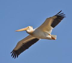Lock 14 Pelicans 20 (Jan Crites) Tags: bird river flying zoom flight pelican iowa explore telephoto mississippiriver pleasantvalley d90 nikond explored lockanddam14