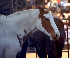 markings (Martina V.) Tags: horse argentina caballo buenosaires palermo agriculturaeindustriainternacional exporural exposicindeganadera