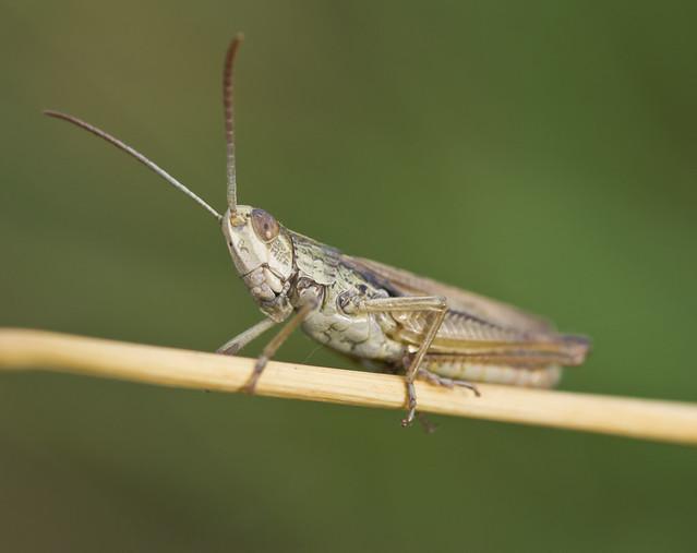 lesser marsh grasshopper_