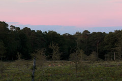 Herd of deer and sunset (Sebastian Anthony) Tags: pink sunset england nature animals deer pack herd newforest
