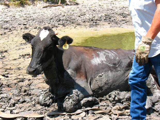 cow mud 5