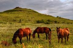 Kansas Trio (Keith Moyer) Tags: horses horse field fence three butte kansas hdr