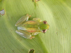 s carneus (2) (Danni Thompson) Tags: dice macro peru nature amazon rainforest wildlife amphibian frog research jungle toad tropical rana