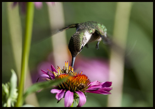 Hummingbird at cone flower 1 by Jen St. Louis