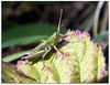 Hopper on a leaf! (macfudge1UK) Tags: uk summer england fauna bug insect leaf europe britain wildlife gb grasshopper oxfordshire oxon hs20 2011 stantonharcourt ©allrightsreserved fantasticnature chorthippusparallelus meadowgrasshopper countryfile diamondclassphotographer flickrdiamond theenchantedcarousel rspblovenature bbcsummerwatch hs20exr fujifilmfinepixhs20exr fujihs20exr fujifilmhs20