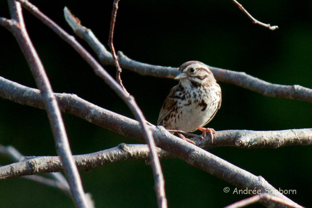 Song Sparrow (Melospiza melodia)-1.jpg