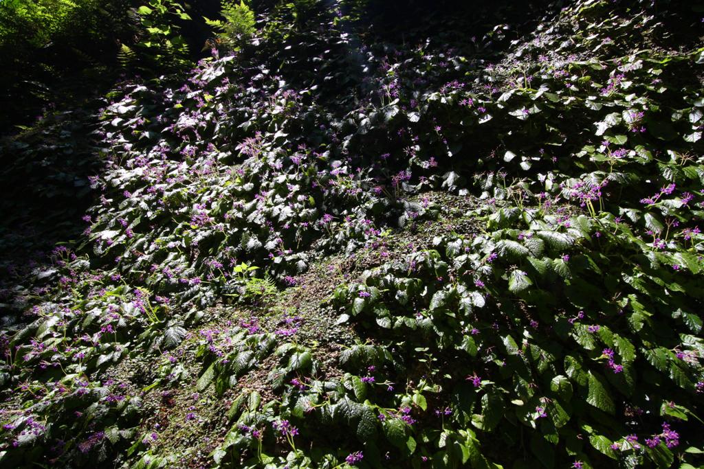 Kita Kamakura Hydrangea spot (27)