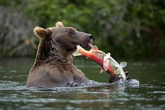 Catch of the Day (PaulHassell.com) Tags: bear nationalpark wildlife grizzly brownbear brooksfalls brownbears katmai brookscamp katmainationalpark grizzlie paulhassell publandsnw11