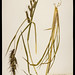 Echinochloa - Photo (c) Patrick Alexander, some rights reserved (CC BY-NC-ND)