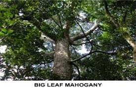 big leaf mahogany