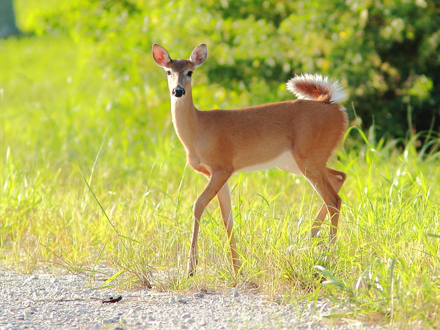 Curious yearling 20111003
