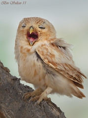 -   () Tags: bird birds bin owl sultan qatar  birdwatchers     wachers littl
