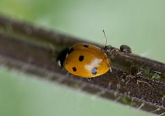Expulsar al invasor (Alan Schaeffer) Tags: macro canon eos ant tubes 100mm bite ladybug hormiga tubos mariquita morder kenko 400d