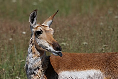 Pronghorn Defiance (My_Minds_Eye) Tags: nature beautiful animals fauna canon outdoors spring pretty wildlife 7d antelope upclose pronghornantelope canonshooter