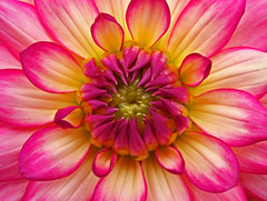 Dahlie, Explore 4th of July 2011, # 39 and Explore Frontpage (Andy von der Wurm) Tags: pink dahlia plant flower macro nature closeup germany deutschland flora colorful blossom pflanze rosa alemania nrw colourful blume makro blüte allemagne farbig nahaufnahme bluete dahlie geilenkirchen explored asteroideae korbblütler hobbyphotograph korbbluetler mywinners colorphotoaward asternartige kreisheinsberg platinumfoto explorewinnersoftheworld exceptionalflowers yellowyelloweverywhere coreopsideae euasteriden cedruseternum andreasfucke