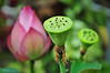 Lotus flower (e.nhan) Tags: flowers light flower green art nature closeup nikon colorful colours dof lotus bokeh arts backlighting d90 enhan
