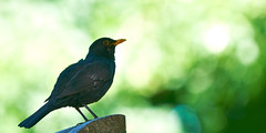 Turdus merula / Common Blackbird / Koltrast (MagnusL3D) Tags: bird nikon d300 commonblackbird koltrast f2870200mm