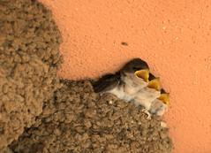 schwalben trio (yellobird) Tags: italien bird italia nest swallow vgel sardinien junge rondine schwalben schnbel nesthocker