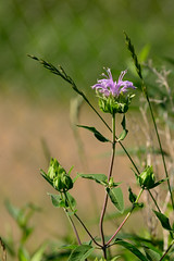 First Monarda DSC_1038 by Mully410 * Images