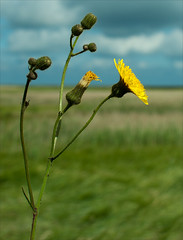 Sow thistle. (David M:) Tags: uk trip travel light shadow summer england sky sunlight plant flower color colour art english nature beautiful beauty field sunshine composition rural photoshop garden landscape coast countryside spring nikon europe natural image bokeh britain thistle country north norfolk scenic picture scene structure photograph shade elements british form shrub shape horticulture tone sow available tonal cley compose garden coast north english