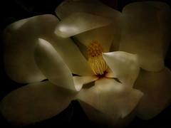 Blossom (Femininelure) Tags: flower blossom magnolia anaisnin alwaysexc absolutegoldenmasterpiece