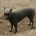 Uma das mais antigas raças de cachorros do mundo.