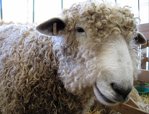 Longwool face