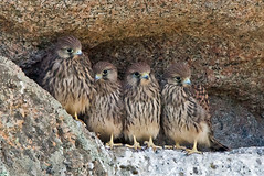 Common Kestrel (Falco tinnunculus) (Jeluba) Tags: italy bird nature canon sardinia wildlife aves prey ornithology birdwatching oiseau italie sardaigne falcotinnunculus commonkestrel fauconcrcerelle thewildlife avianexcellence photocontesttnc11 peregrino27life turmfalker