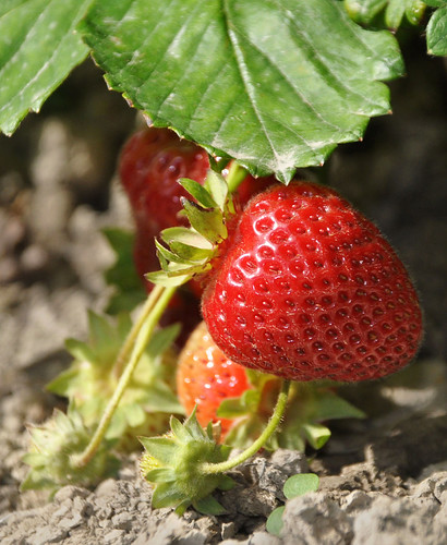 Strawberry on the Bush