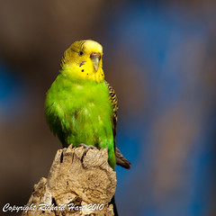 Who's a pretty girl then? (SillyOldBugger (in and out of internet range)) Tags: wild bird australian australia aves budgerigar budgie southaustralia avian farina wildbird melopsittacusundulatus minolta3004hsg wildbirdaustralia