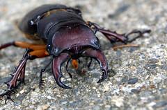 beetle1 (Bob Cornellier) Tags: bug vermont purple cement beetle brattleboro pinchers mygearandme