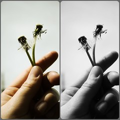 Your all out of wishes... (Itsjessicadarlene) Tags: 2 two bw white black green dead photography photo holding hand picture dandelion together wish wishing handling stim