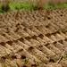 Plantacao de cassava
