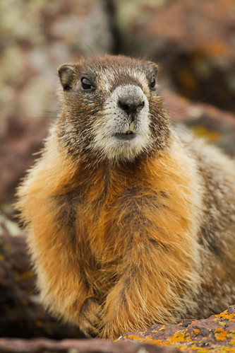 Yellow-bellied marmot-6.JPG