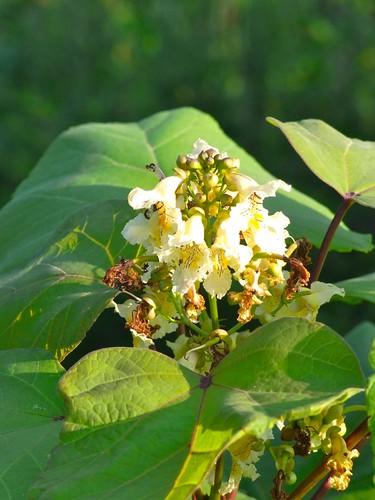 キササゲの花