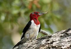 Red-headed Woodpecker, deformed bill