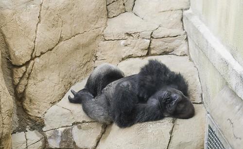 a sleepy gorilla.