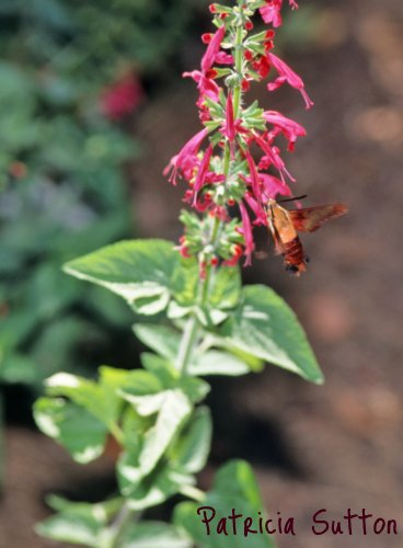 06-HummingbirdClearwing-TexasSage-8-2-99-w-signature
