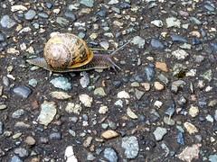 Snail (jidabug) Tags: snail orcasisland girlstrip