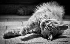 [フリー画像] 動物, 哺乳類, 猫・ネコ, 寝顔・寝ている, モノクロ写真, 201107211100