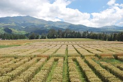 CIMMYT international wheat nurseries growing in Ecuador (CIMMYT) Tags: plant planta latinamerica southamerica field ecuador wheat research breeding campo production agriculture partnership trial ecuatoriano collaboration plot ensayo trigo iwin amricalatina asociacin initiative agricultura parcela ecuadorian researchstation investigacin amricadelsur latinoamrica colaboracin iniciativa produccin foodsecurity experimentstation cimmyt seguridadalimentaria mejoramiento iniap viverointernacional internationalnursery internationalwheatimprovementnetwork redinternacionaldemejoramientodetrigo internationalwheatnursery viverointernacionaldetrigo estacinexperimental estacindeinvestigacin nationalinstituteofagriculturalresearch institutonacionalautnomodeinvestigacionesagropecuarias