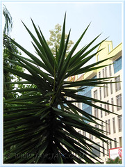 Blooming Yucca aloifolia (Spanish Bayonet, Dagger Plant) at Cheras Business Centre, KL - July 4 2011