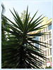 Yucca aloifolia (Spanish Bayonet, Aloe Yucca, Dagger Plant)