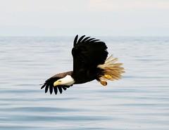 Eagle off Langara - Copy