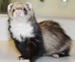 My Ferret by silicon640c, on Flickr