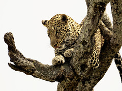 Leopard Tree II (randon) Tags: africa wild camp kenya wildlife safari leopard governors governorscamp