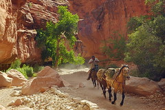 Canyon packer (Chief Bwana) Tags: horses az 100views 300views 200views supai havasupaicanyon hualapaicanyon psa104 chiefbwana